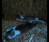 poklanjaju se 2 mačića rođena 05.08.2016