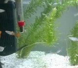 Prodajem akvarijske ribice Gupije