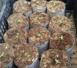 Smilje sadnice 0.50 kn/kom