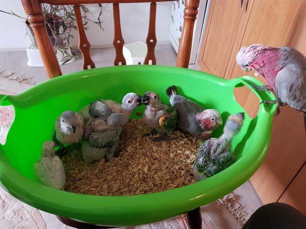 rucno hranjene papige