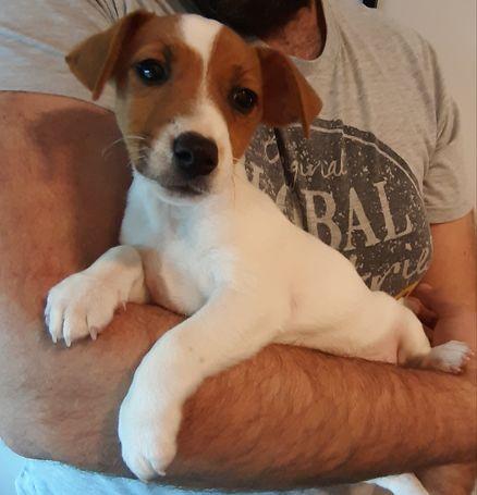 Jack Russell štenac, dva mjeseca star